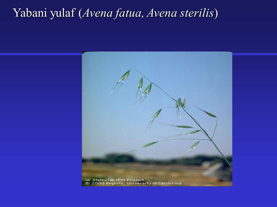 Yabani yulaf (Avena fatua, Avena sterilis)