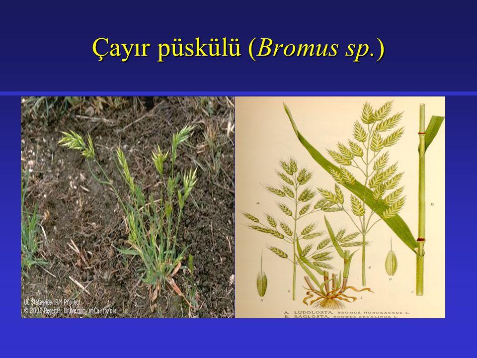 Çayır püskülü (Bromus sp.)