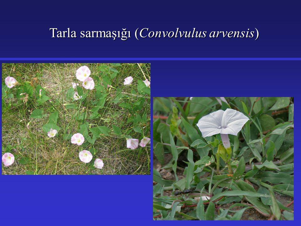 Tarla sarmaşığı (Convolvulus arvensis)