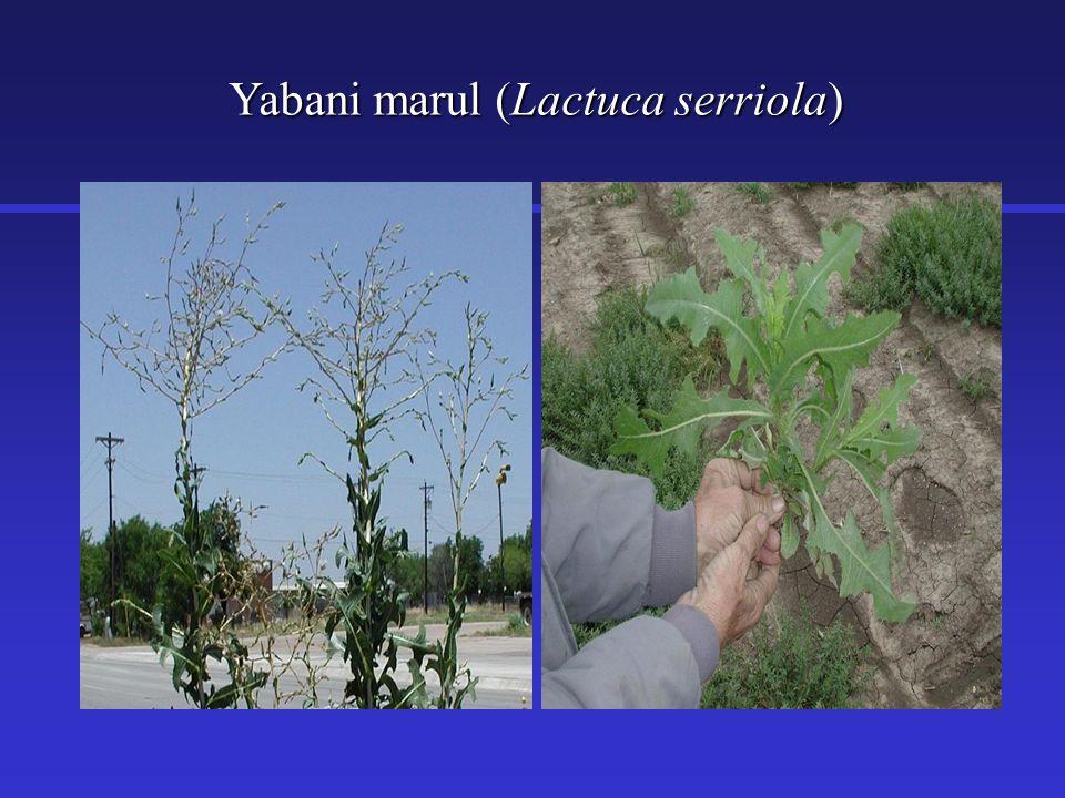 Yabani marul (Lactuca serriola)