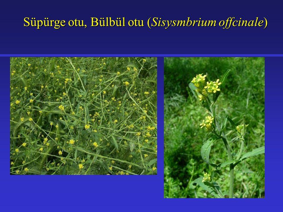 Süpürge otu, Bülbül otu (Sisysmbrium offcinale) Süpürge otu, Bülbül otu (Sisysmbrium offcinale)