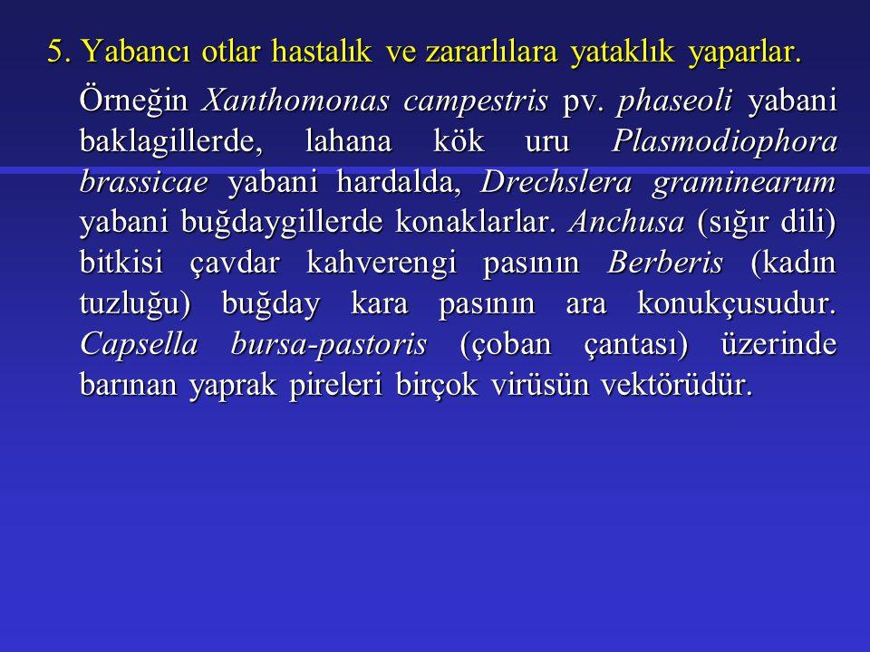 Kokar ot ( Bifora radians)