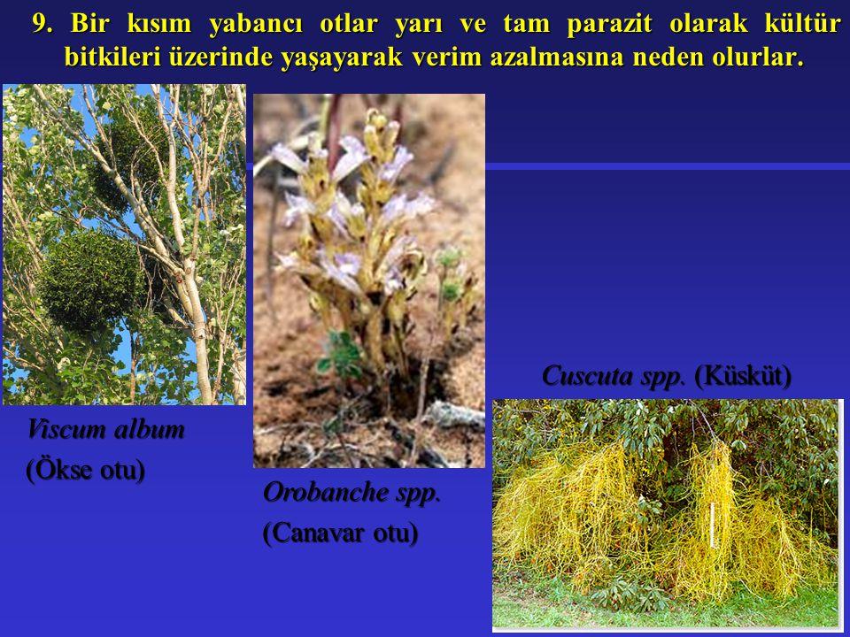 9. Bir kısım yabancı otlar yarı ve tam parazit olarak kültür bitkileri üzerinde yaşayarak verim azalmasına neden olurlar. Viscum album (Ökse otu) Orob