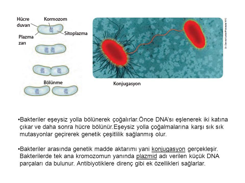 Plazmitler ana kromozomdan bağımsız olarak eşlenmekte ve konjugasyon ile diğer bakteri hücrelerine aktarılabilmektedir.