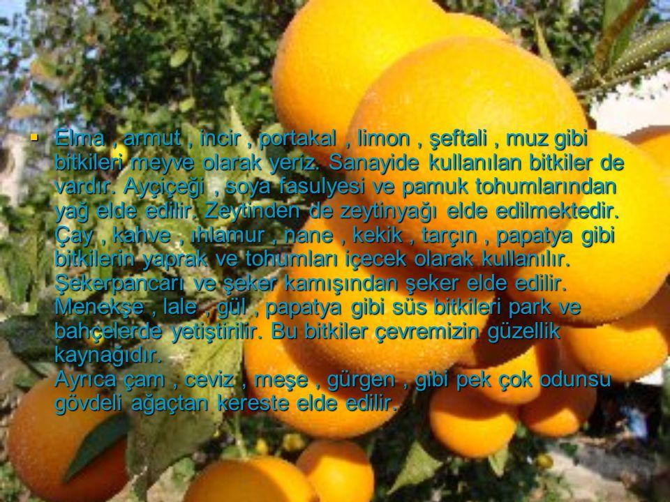  Elma, armut, incir, portakal, limon, şeftali, muz gibi bitkileri meyve olarak yeriz. Sanayide kullanılan bitkiler de vardır. Ayçiçeği, soya fasulyes