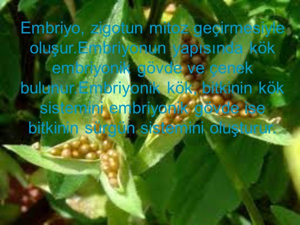 Embriyo, zigotun mitoz geçirmesiyle oluşur.Embriyonun yapısında kök embriyonik gövde ve çenek bulunur.Embriyonik kök, bitkinin kök sistemini embriyoni