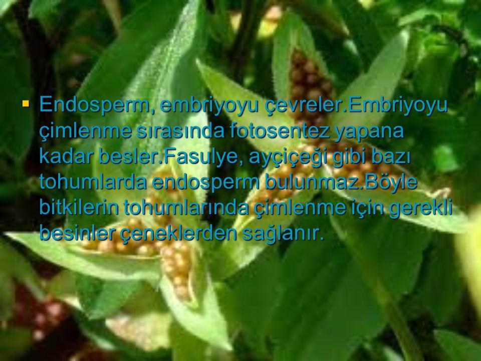  Endosperm, embriyoyu çevreler.Embriyoyu çimlenme sırasında fotosentez yapana kadar besler.Fasulye, ayçiçeği gibi bazı tohumlarda endosperm bulunmaz.