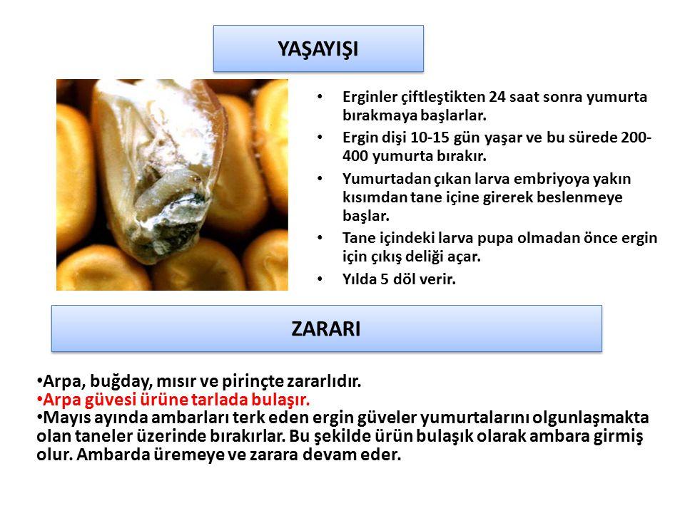 Erginler çiftleştikten 24 saat sonra yumurta bırakmaya başlarlar. Ergin dişi 10-15 gün yaşar ve bu sürede 200- 400 yumurta bırakır. Yumurtadan çıkan l