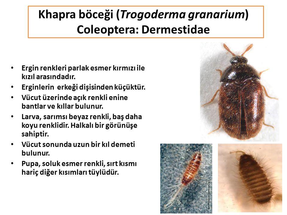 Khapra böceği (Trogoderma granarium) Coleoptera: Dermestidae Ergin renkleri parlak esmer kırmızı ile kızıl arasındadır. Erginlerin erkeği dişisinden k