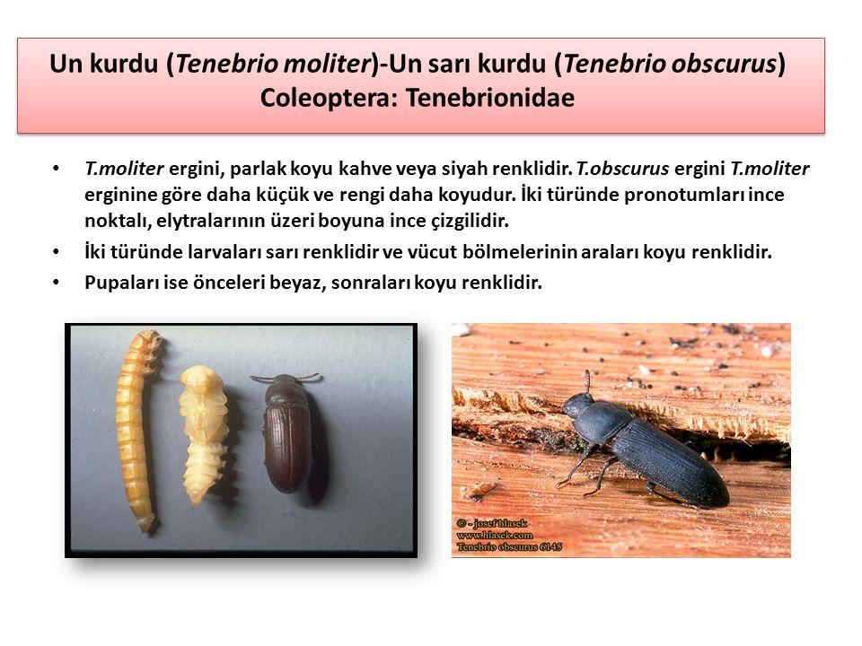 Un kurdu (Tenebrio moliter)-Un sarı kurdu (Tenebrio obscurus) Coleoptera: Tenebrionidae T.moliter ergini, parlak koyu kahve veya siyah renklidir. T.ob
