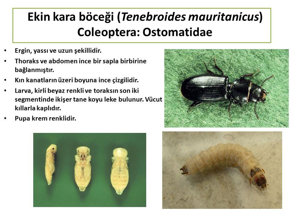 Ekin kara böceği (Tenebroides mauritanicus) Coleoptera: Ostomatidae Ergin, yassı ve uzun şekillidir. Thoraks ve abdomen ince bir sapla birbirine bağla