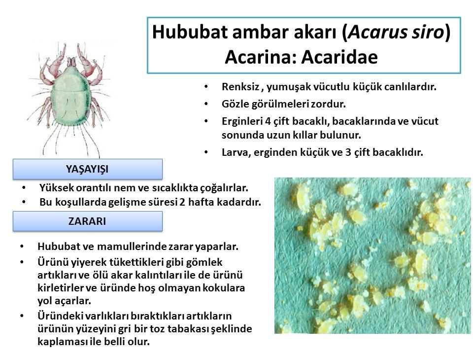 Hububat ambar akarı (Acarus siro) Acarina: Acaridae Renksiz, yumuşak vücutlu küçük canlılardır. Gözle görülmeleri zordur. Erginleri 4 çift bacaklı, ba