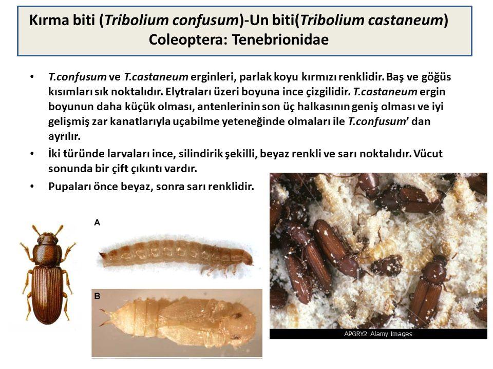 T.confusum ve T.castaneum erginleri, parlak koyu kırmızı renklidir. Baş ve göğüs kısımları sık noktalıdır. Elytraları üzeri boyuna ince çizgilidir. T.