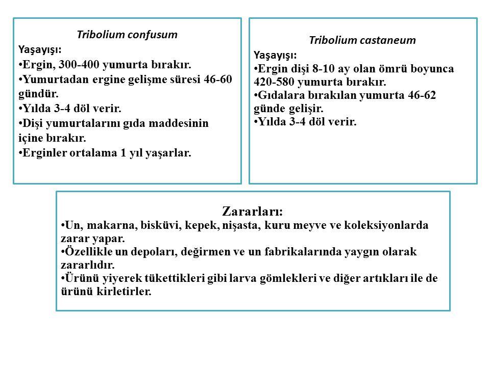Tribolium confusum Yaşayışı: Ergin, 300-400 yumurta bırakır. Yumurtadan ergine gelişme süresi 46-60 gündür. Yılda 3-4 döl verir. Dişi yumurtalarını gı