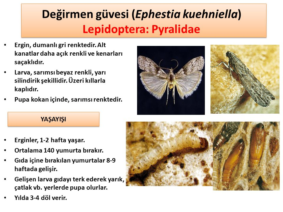 Değirmen güvesi (Ephestia kuehniella) Lepidoptera: Pyralidae Ergin, dumanlı gri renktedir. Alt kanatlar daha açık renkli ve kenarları saçaklıdır. Larv