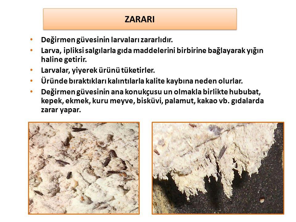 Değirmen güvesinin larvaları zararlıdır. Larva, ipliksi salgılarla gıda maddelerini birbirine bağlayarak yığın haline getirir. Larvalar, yiyerek ürünü