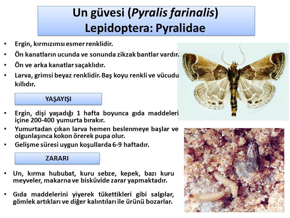 Un güvesi (Pyralis farinalis) Lepidoptera: Pyralidae Ergin, kırmızımsı esmer renklidir. Ön kanatların ucunda ve sonunda zikzak bantlar vardır. Ön ve a