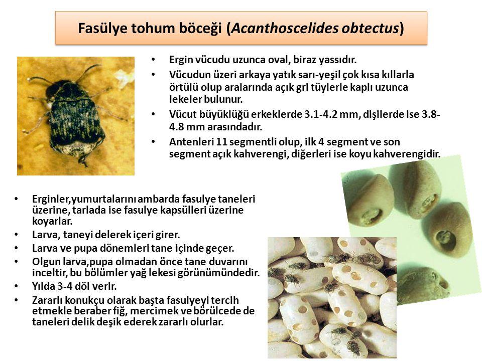 Fasülye tohum böceği (Acanthoscelides obtectus) Ergin vücudu uzunca oval, biraz yassıdır. Vücudun üzeri arkaya yatık sarı-yeşil çok kısa kıllarla örtü