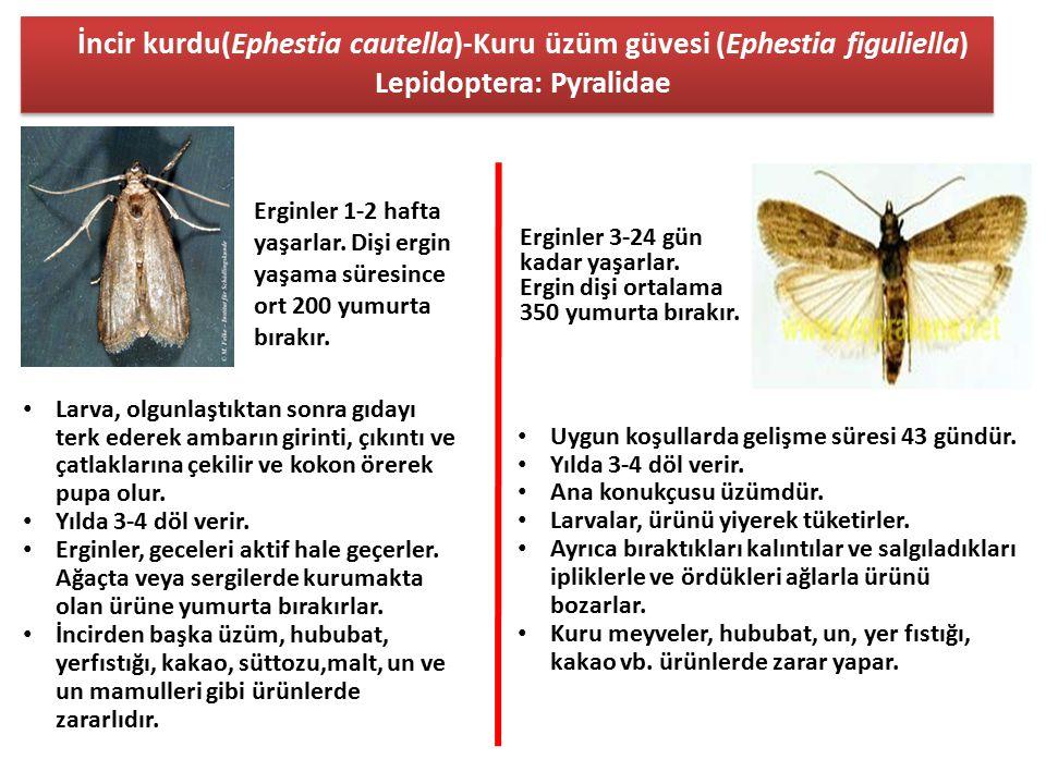 İncir kurdu(Ephestia cautella)-Kuru üzüm güvesi (Ephestia figuliella) Lepidoptera: Pyralidae Erginler 1-2 hafta yaşarlar. Dişi ergin yaşama süresince