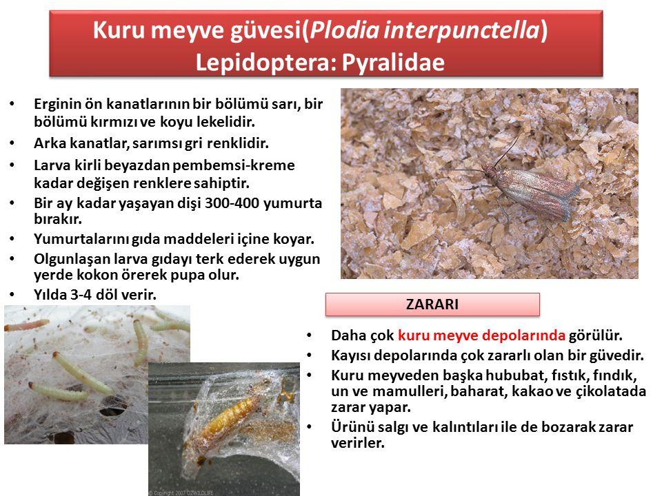 Kuru meyve güvesi(Plodia interpunctella) Lepidoptera: Pyralidae Erginin ön kanatlarının bir bölümü sarı, bir bölümü kırmızı ve koyu lekelidir. Arka ka