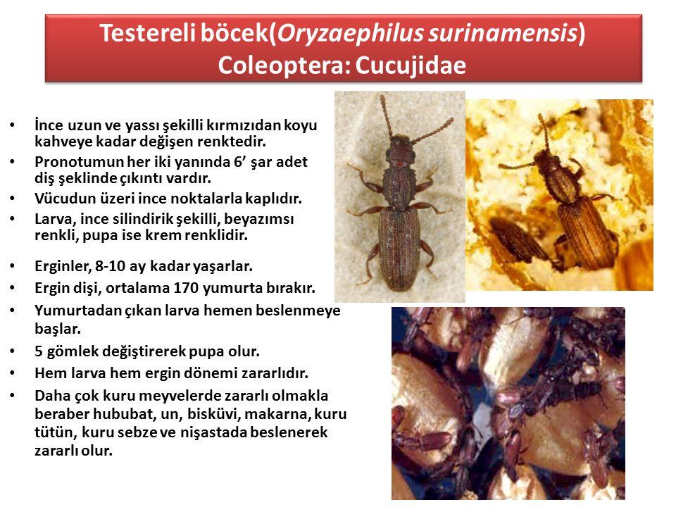 Testereli böcek(Oryzaephilus surinamensis) Coleoptera: Cucujidae İnce uzun ve yassı şekilli kırmızıdan koyu kahveye kadar değişen renktedir. Pronotumu