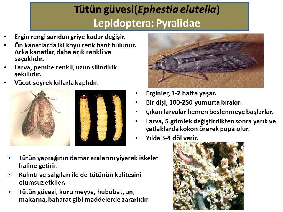 Tütün güvesi(Ephestia elutella) Lepidoptera: Pyralidae Ergin rengi sarıdan griye kadar değişir. Ön kanatlarda iki koyu renk bant bulunur. Arka kanatla