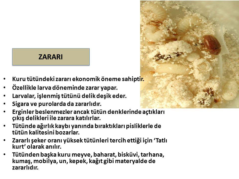 Kuru tütündeki zararı ekonomik öneme sahiptir. Özellikle larva döneminde zarar yapar. Larvalar, işlenmiş tütünü delik deşik eder. Sigara ve purolarda