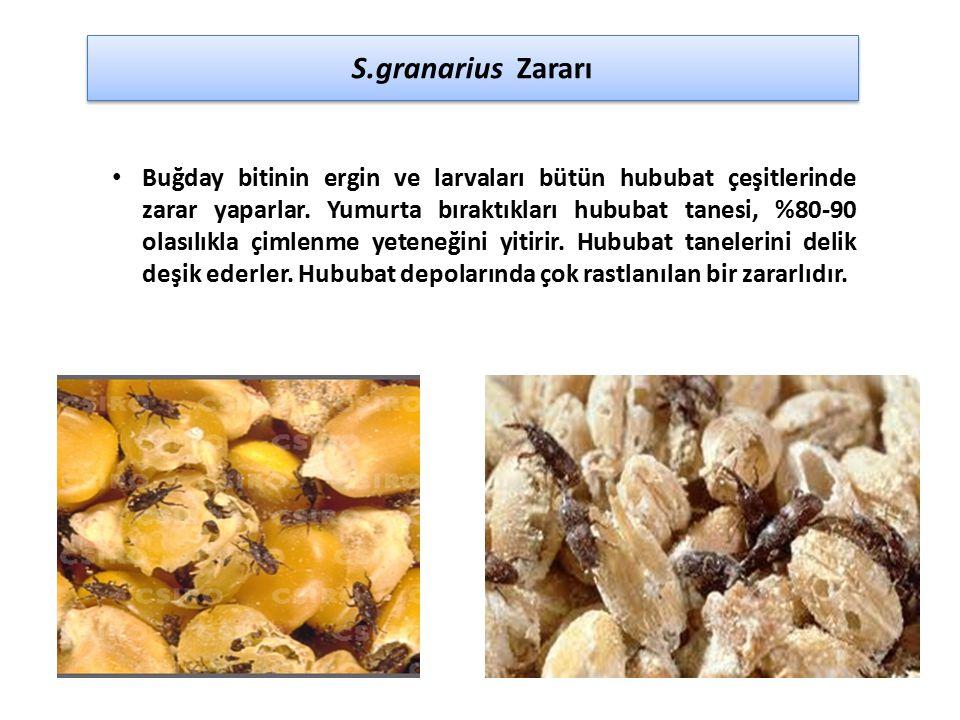 S.granarius Zararı Buğday bitinin ergin ve larvaları bütün hububat çeşitlerinde zarar yaparlar. Yumurta bıraktıkları hububat tanesi, %80-90 olasılıkla