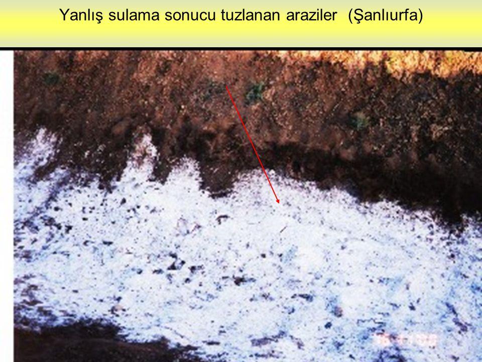 Yanlış sulama sonucu tuzlanan araziler (Şanlıurfa)
