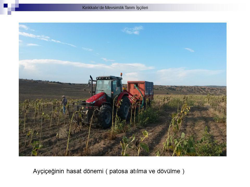 Kırıkkale'de Mevsimlik Tarım İşçileri Ayçiçeğinin hasat dönemi ( patosa atılma ve dövülme )