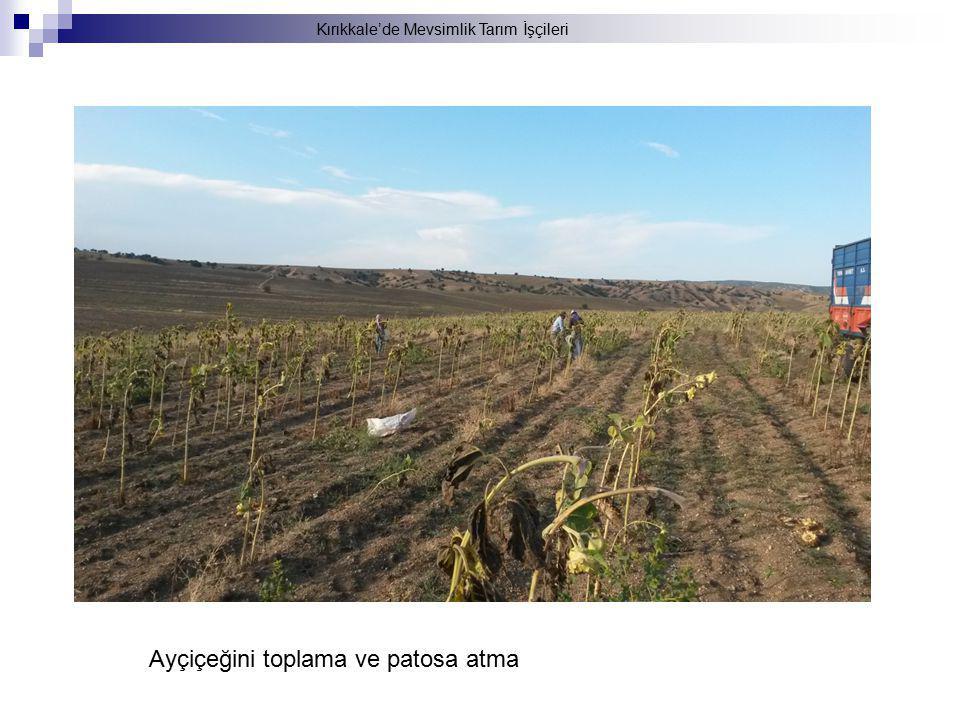 Kırıkkale'de Mevsimlik Tarım İşçileri Ayçiçeğini toplama ve patosa atma