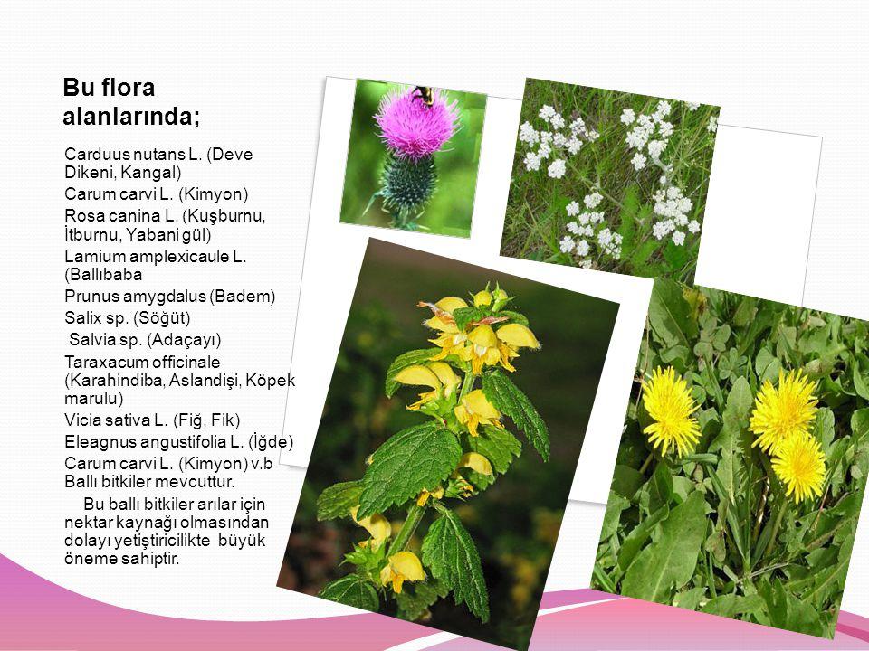 Bu flora alanlarında; Carduus nutans L.(Deve Dikeni, Kangal) Carum carvi L.