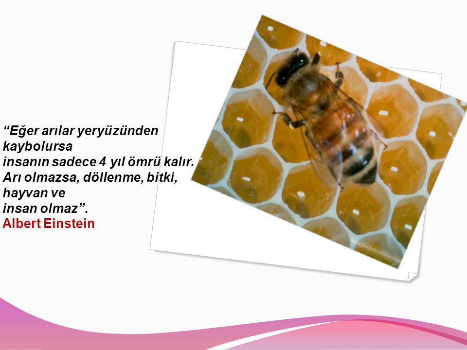 Eğer arılar yeryüzünden kaybolursa insanın sadece 4 yıl ömrü kalır.