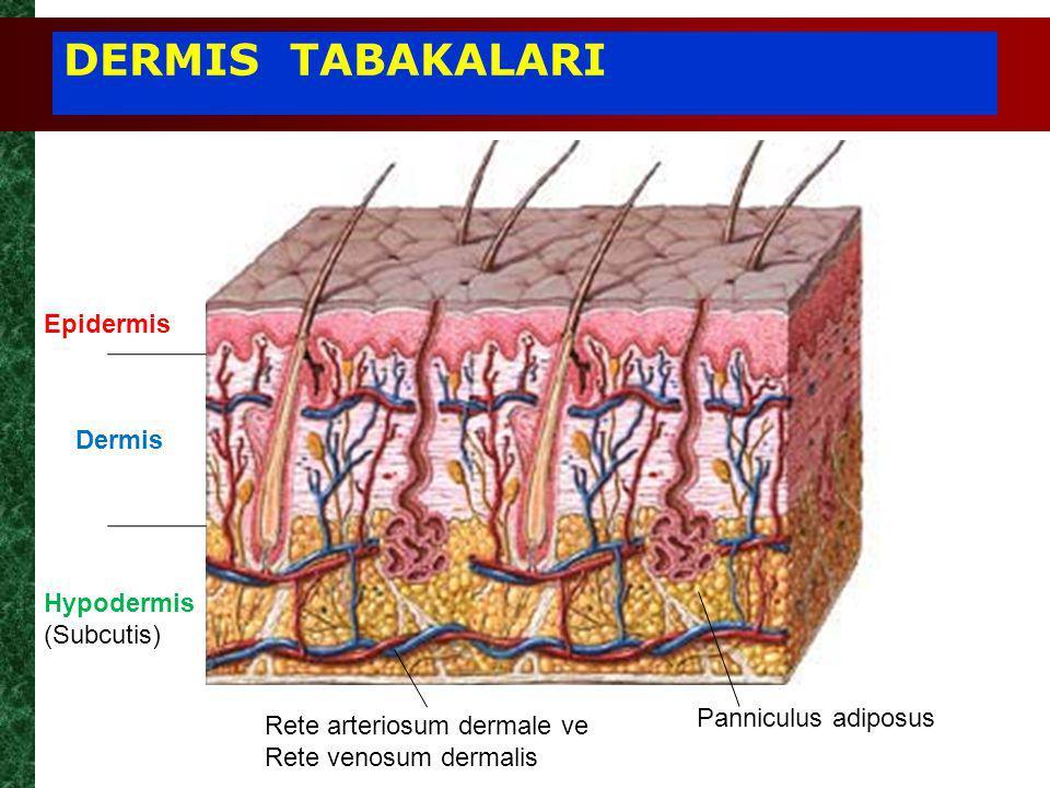 Panniculus adiposus Epidermis Dermis Hypodermis (Subcutis) Rete arteriosum dermale ve Rete venosum dermalis DERMIS TABAKALARI