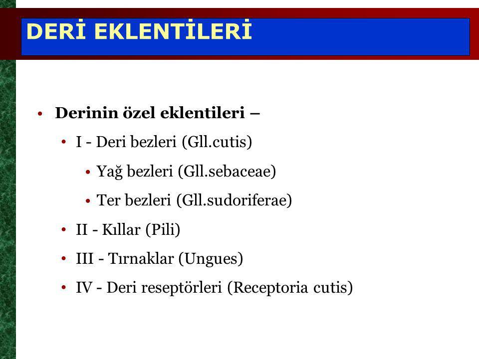 DERİ EKLENTİLERİ Derinin özel eklentileri – I - Deri bezleri (Gll.cutis) Yağ bezleri (Gll.sebaceae) Ter bezleri (Gll.sudoriferae) II - Kıllar (Pili) I