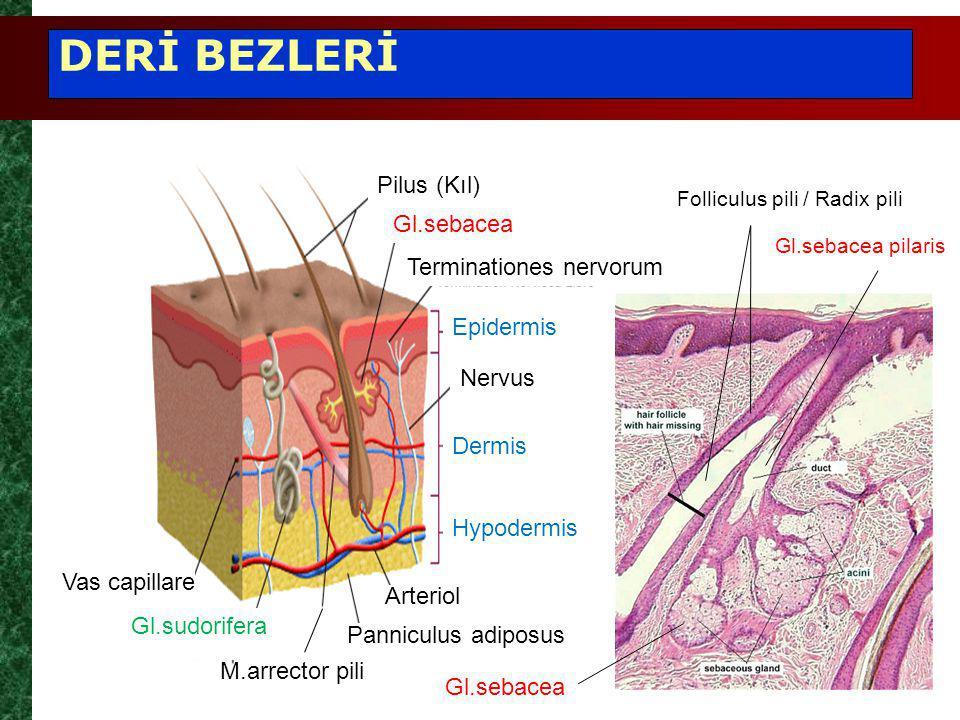 DERİ BEZLERİ Pilus (Kıl) Gl.sebacea Terminationes nervorum Nervus Epidermis Dermis Hypodermis Gl.sudorifera Arteriol M.arrector pili Panniculus adiposus Vas capillare Gl.sebacea Folliculus pili / Radix pili Gl.sebacea pilaris