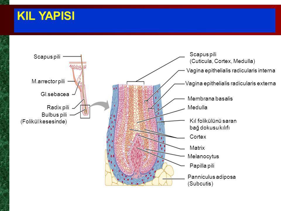 KIL YAPISI Scapus pili M.arrector pili Gl.sebacea Radix pili Bulbus pili (Folikül kesesinde) Scapus pili (Cuticula, Cortex, Medulla) Vagina epithelialis radicularis interna Vagina epithelialis radicularis externa Membrana basalis Medulla Kıl folikülünü saran bağ dokusu kılıfı Cortex Matrix Melanocytus Papilla pili Panniculus adiposa (Subcutis)