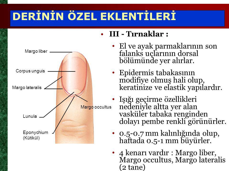 III - Tırnaklar : El ve ayak parmaklarının son falanks uçlarının dorsal bölümünde yer alırlar. Epidermis tabakasının modifiye olmuş hali olup, keratin