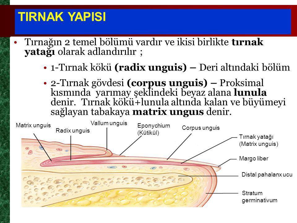 Tırnağın 2 temel bölümü vardır ve ikisi birlikte tırnak yatağı olarak adlandırılır ; 1-Tırnak kökü (radix unguis) – Deri altındaki bölüm 2-Tırnak gövdesi (corpus unguis) – Proksimal kısmında yarımay şeklindeki beyaz alana lunula denir.