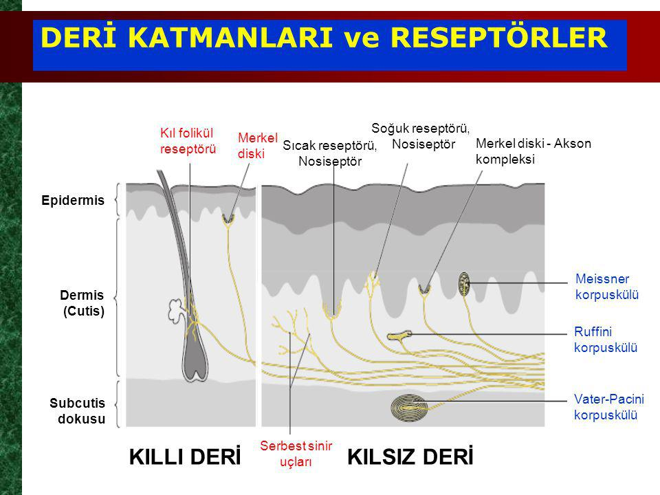 DERİ KATMANLARI ve RESEPTÖRLER KILLI DERİKILSIZ DERİ Serbest sinir uçları Meissner korpuskülü Ruffini korpuskülü Vater-Pacini korpuskülü Sıcak reseptörü, Nosiseptör Merkel diski Kıl folikül reseptörü Epidermis Dermis (Cutis) Subcutis dokusu Soğuk reseptörü,, Nosiseptör Merkel diski - Akson kompleksi