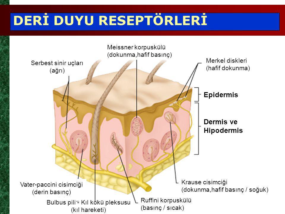 Meissner korpuskülü (dokunma,hafif basınç) Ruffini korpuskülü (basınç / sıcak) Krause cisimciği (dokunma,hafif basınç / soğuk) Merkel diskleri (hafif dokunma) Vater-paccini cisimciği (derin basınç) Epidermis Dermis ve Hipodermis Serbest sinir uçları (ağrı) DERİ DUYU RESEPTÖRLERİ Bulbus pili - Kıl kökü pleksusu (kıl hareketi)