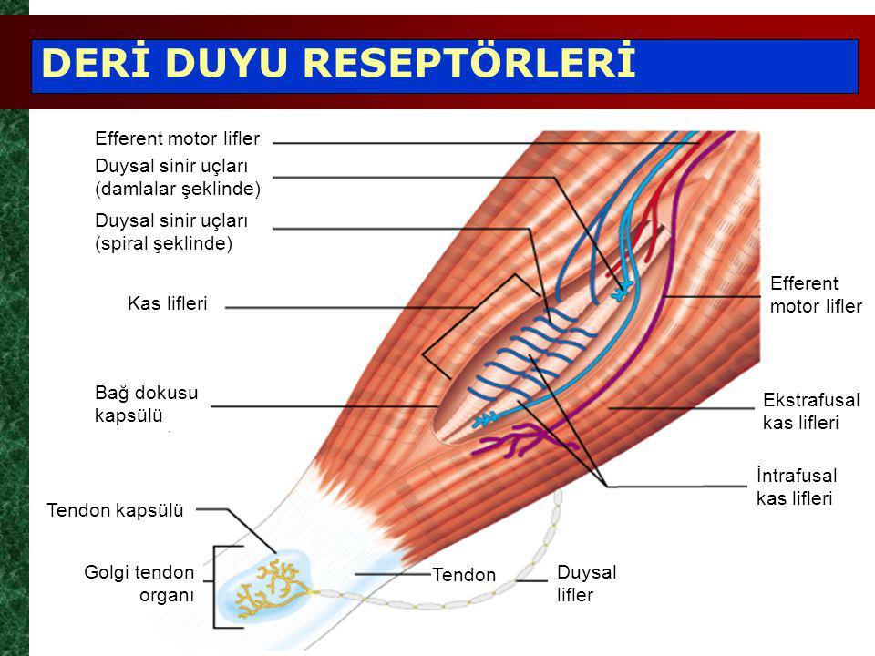 Efferent motor lifler Duysal sinir uçları (damlalar şeklinde) Kas lifleri Bağ dokusu kapsülü Efferent motor lifler Ekstrafusal kas lifleri Golgi tendon organı Duysal sinir uçları (spiral şeklinde) İntrafusal kas lifleri Tendon kapsülü Duysal lifler DERİ DUYU RESEPTÖRLERİ Tendon