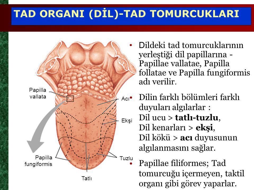 Papilla vallata Papilla fungiformis Acı Ekşi Tuzlu Tatlı TAD ORGANI (DİL)-TAD TOMURCUKLARI D ildeki tad tomurcuklarının yerleştiği dil papillarına - Papillae vallatae, Papilla follatae ve Papilla fungiformis adı verilir.