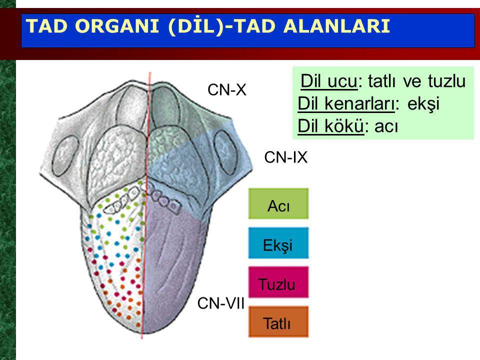 Acı Ekşi Tuzlu Tatlı CN-X CN-IX CN-VII Dil ucu: tatlı ve tuzlu Dil kenarları: ekşi Dil kökü: acı TAD ORGANI (DİL)-TAD ALANLARI