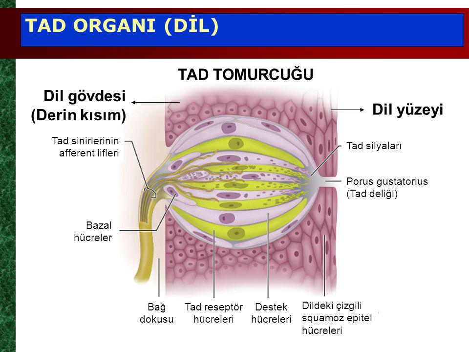 Tad sinirlerinin afferent lifleri Bazal hücreler Bağ dokusu Tad reseptör hücreleri Destek hücreleri Dildeki çizgili squamoz epitel hücreleri Porus gustatorius (Tad deliği) Tad silyaları Dil gövdesi (Derin kısım) Dil yüzeyi TAD ORGANI (DİL) TAD TOMURCUĞU