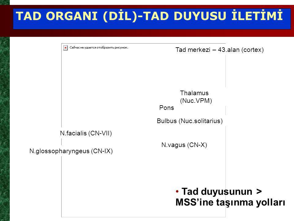 Tad merkezi – 43.alan (cortex) Thalamus (Nuc.VPM) Pons Bulbus (Nuc.solitarius) N.vagus (CN-X) N.facialis (CN-VII) N.glossopharyngeus (CN-IX) Tad duyusunun > MSS'ine taşınma yolları TAD ORGANI (DİL)-TAD DUYUSU İLETİMİ