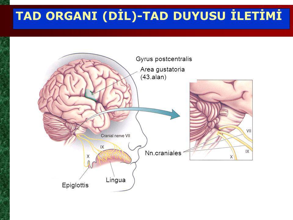 Area gustatoria (43.alan) Gyrus postcentralis Nn.craniales Lingua Epiglottis