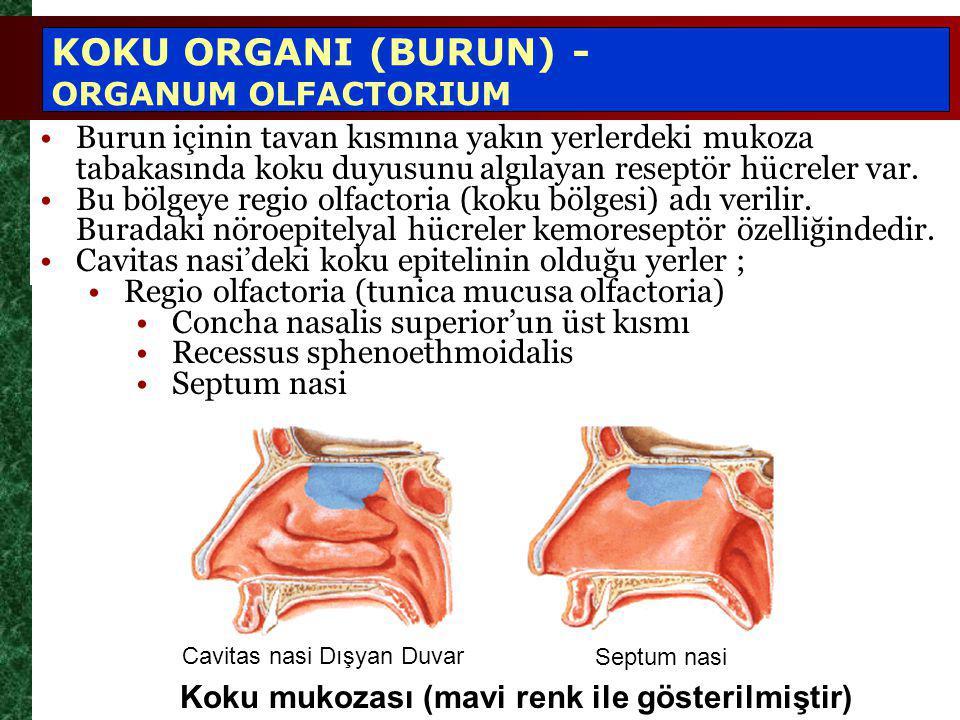 Koku mukozası (mavi renk ile gösterilmiştir) KOKU ORGANI (BURUN) - ORGANUM OLFACTORIUM Cavitas nasi Dışyan Duvar Septum nasi Burun içinin tavan kısmına yakın yerlerdeki mukoza tabakasında koku duyusunu algılayan reseptör hücreler var.