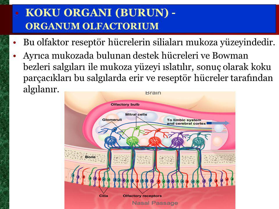 Bu olfaktor reseptör hücrelerin siliaları mukoza yüzeyindedir.