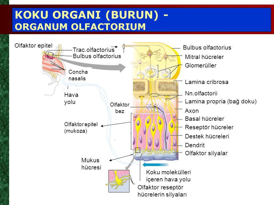 Olfaktor epitel Concha nasalis Hava yolu Olfaktor epitel (mukoza) Mukus hücresi Olfaktor reseptör hücrelerin silyaları Koku molekülleri içeren hava yolu Bulbus olfactorius Mitral hücreler Axon Basal hücreler Reseptör hücreler Destek hücreleri Dendrit Olfaktor silyalar Glomerüller Lamina cribrosa Nn.olfactorii Lamina propria (bağ doku) KOKU ORGANI (BURUN) - ORGANUM OLFACTORIUM Bulbus olfactorius Trac.olfactorius Olfaktor bez